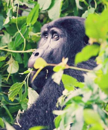 Gorilla im Grünen