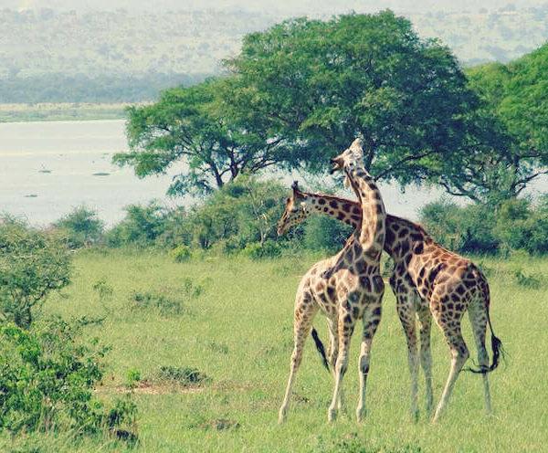 Zwei Giraffen im Nationalpark in Uganda