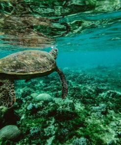 Meeresschildkröte treibt im türkisblauen Meer