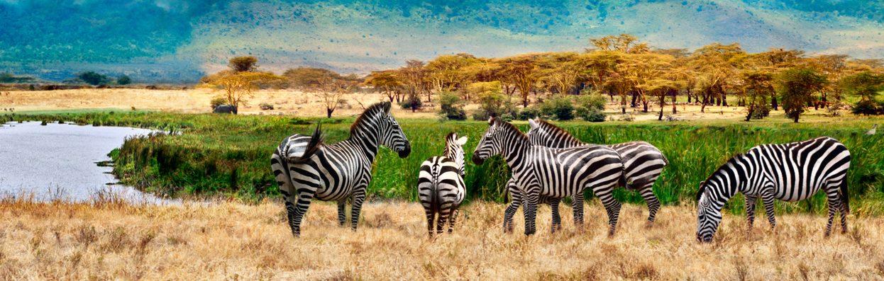 Zebras in Uganda. Karmalaya.