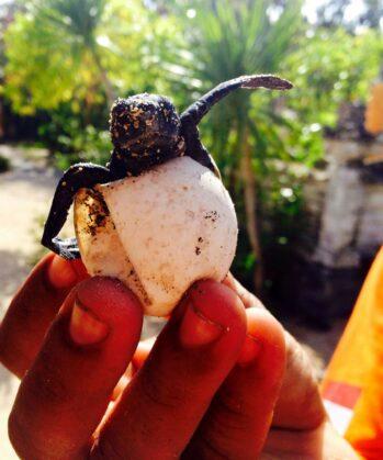 Hand mit Baby-Meeresschildkröte